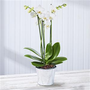 White Orchid | Plants | MyGiftGenie