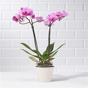 Purple Orchid | Plants | MyGiftGenie