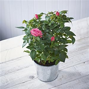 Red Rose Bush | Plants | MyGiftGenie