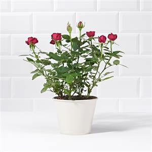 Red Potted Rose | Plants | MyGiftGenie